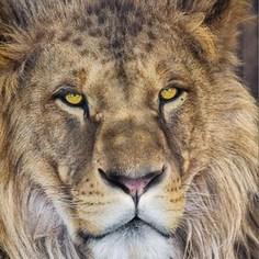 Фотообои Komar Lion 127 х 184см. (1-619)