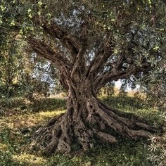 Фотообои National Geographic Olive Tree (3,68х2,54 м)