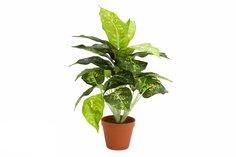 Растение икусственное в горшке Диффенбахия Hoff