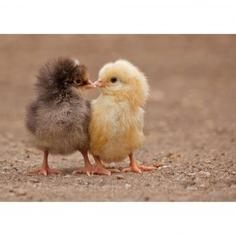 Картина на холсте «Цыплята» 30х40 см
